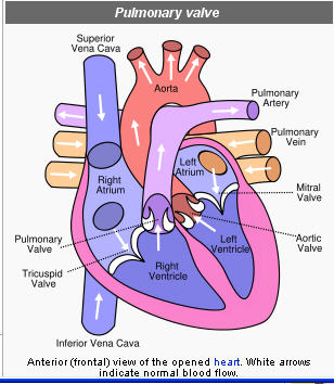 A safer way to replace a pulmonary heart valvethe skys the limit of course with the evolution of stem cell science weve all just been waiting with bated breath to hear about using them for replacing pieces of the heart ccuart Gallery